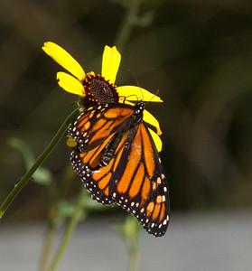 Monarck Butterfly Encinitas  2012 12 10 (1 of 1).CR2