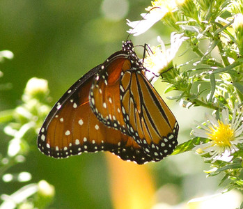 Queen Butterfly  Lone Pine 2012 09 15 (2 of 2).CR2