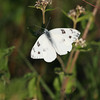 Cabbage White, Butterfly on  wildflower