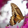 Nature photographer Jerry Dalrymple shares an image of a giant swallowtail butterfly taken near Tampa, Florida
