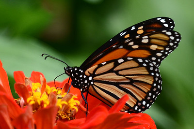 #1554  Monarch butterfly on orange zinnia