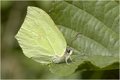 Brimstone, Upton, Norfolk, United Kingdom, 28 May 2005