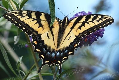 #889  Tiger Swallowtail