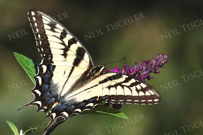 #871  Tiger Swallowtail