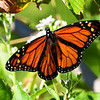 Monarch loading up on nectar just before the annual migration