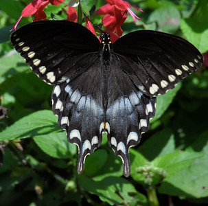 #1560   Spicebush Swallowtail butterfly, female on salvia
