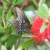 Black Swallowtail  Butterfly on bottlebrush tree