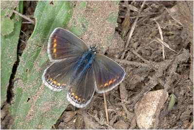 Brown Argus, Felmingham, Norfolk, United Kingdom, 10 August 2005