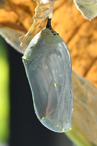 #1539  Monarch butterfly chrysalis (about 8th day);  shell is becoming translucent and wing details are becoming visible
