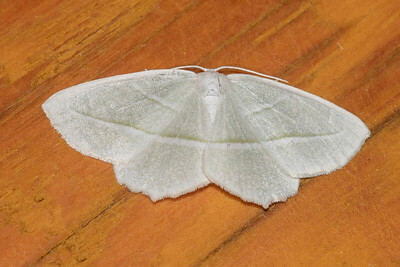 Beauty-Pale-(Campaea perlata)-Dunning Lake- Itasca County MN