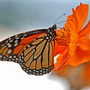 butterfly, butterflies, monarch, images, nature photography