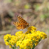 Montana butterfly on golden rod flower