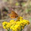 Montana butterfly on golden rod flower