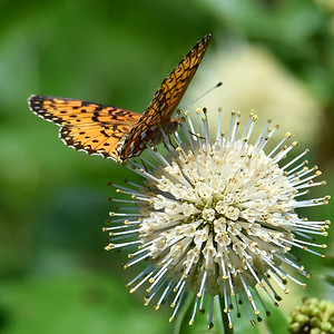 #1634  Silver-bordered Fritillary butterfly on Common Buttonbush blossom
