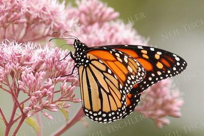 #679  Monarch