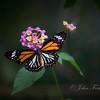 Black Veined Tiger, Pulau Ubin