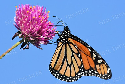 1394  Monarch Butterfly