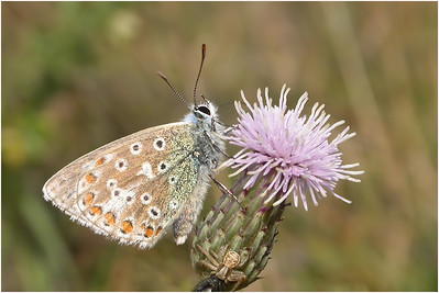 Adonis Blue, Martin Down, Hampshire, United Kingdom, 27 August 2003