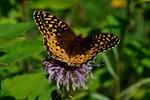 Butterfly-Fritillary-Great Spangled-(Krautwurm's)-(Speyeria cybele krautwurmi)-Dunning Lake-Bovey MN-20130817-01-PS-1