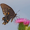Nature photographer Jerry Dalrymple shares an image of a eastern black swallowtail butterfly taken at the Cox Arboretum near Dayton, Ohio