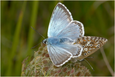 Chalkhill Blue, Devil's Dyke, Cambridgeshire, United Kingdom, 10 August 2005