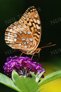 #916  Great Spangled Fritillary
