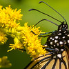 Monarch Butterfly, Prince Edward Point National Wildlife Area, Ontario