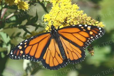 #657  Monarch