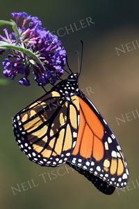 #1048  Monarch