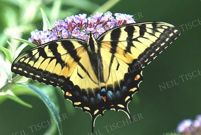 #897  Tiger Swallowtail