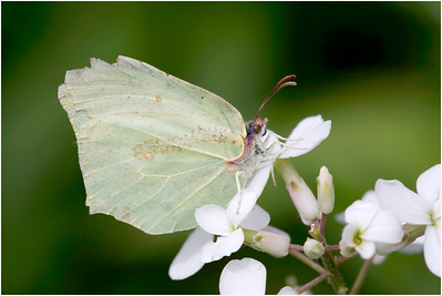 Brimstone, Strumpshaw, Norfolk, United Kingdom, 15 June 2016