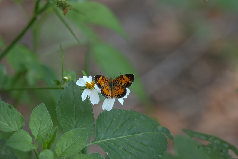 The Pearl Crescent is one of Florida's small butterflies.