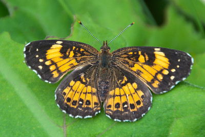Checkerspot-Harris's-(Chlosyne harrisii) - Dunning Lake - Itasca County, MN