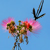 Pipevine Swallowtail on mimosa