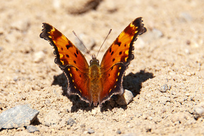 Comma-Gray-(Polygonia progne) - Alder Road - Itasca County, MN