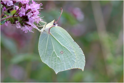 Brimstone, Aston Rowant, Oxfordshire, United Kingdom, 8 August 2009