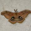 Large Moth_SS0276