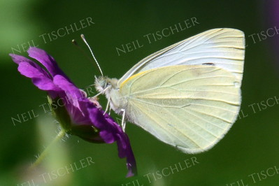 #1201  A cabbage white butterfly sips from a purple Cranesbill Geranium.