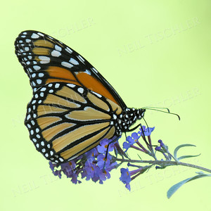 #1206  A monarch butterfly feeding from a purple butterfly bush.  The butterfly was in shade with sunlit trees way in the background.  When I lightened the image to show the butterfly better,  the background turned pale green.