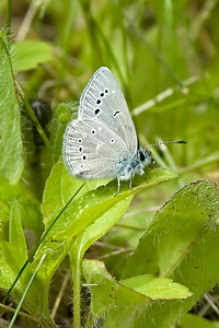 Blue-Silvery-(Glaucopsyche lygdamus) - Dunning Lake - Itasca County, MN