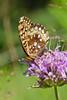 Butterfly-Fritillary-Great Spangled-(Krautwurms Fritillary)-Dunning Lake MN-02-20120719-PS-1