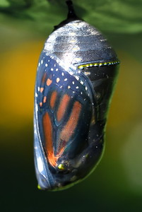 #1538  Monarch butterfly chrysalis (10th day);  shell now clear; orange and black wings are visible