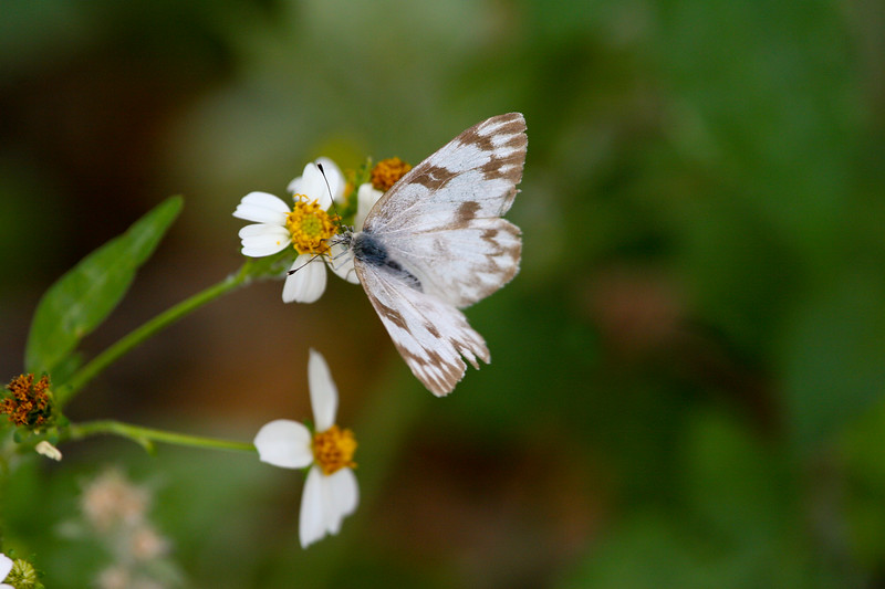 Checkered White, Butterfly on beggar tick wildflower