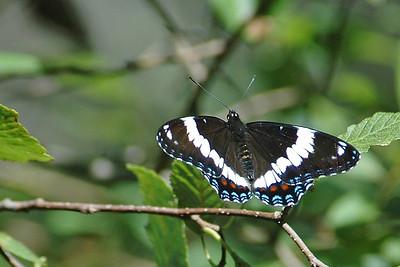 Admiral-White-(Limenitis arthemis arthemis) - Scenic State Park - Itasca County, MN