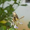 Eastern Tiger Swallowtail