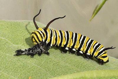 #1541  Monarch butterfly caterpillar (5th molt)