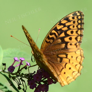 #1136  Great Spangled Fritillary