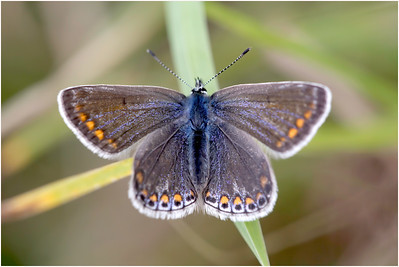 Brown Argus, Knockinghoe, Bedfordshire, United Kingdom, 5 September 2015