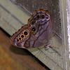 Hackberry butterfly