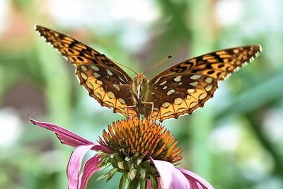 #1601  Fritillary butterfly on coneflower